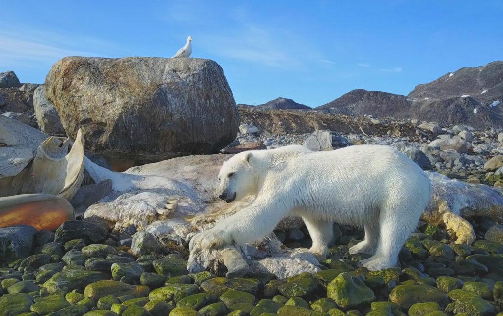 02 Spitzbergen - Eisbär an Walkadaver 300dpi