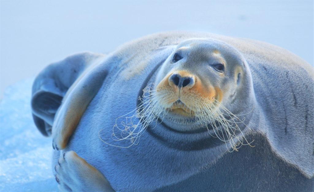 07 Spitzbergen - Bartrobbe guckt 300dpi